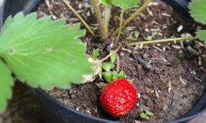 Strawberry menggoda!