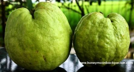 Jambu biji atau guava cristal